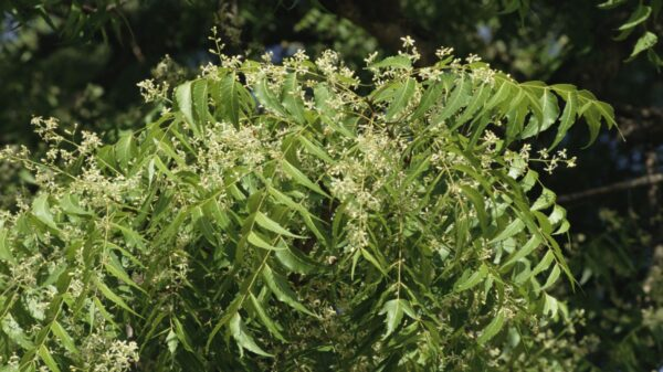 Neem And Its Benefits
